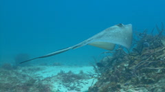Southern stingray swimming over a coral reef Stock Footage
