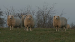Sheep in the English countryside Stock Footage