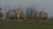 Stock Video Footage of Sheep in the English countryside