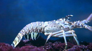 Florida lobster side view Stock Footage