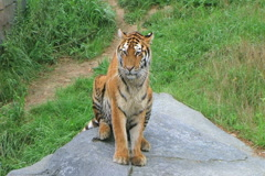 Tiger Stretching Stock Footage