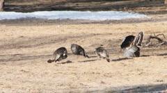 Wild turky Stock Footage