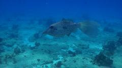 Scrawled filefish eating jellyfish - stock footage