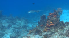 Spotted eagleray swimming over a coral reef Stock Footage