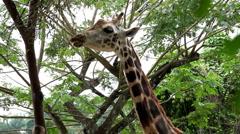 Beautiful Giraffe Close-Up, Giraffa Camelopardalis, The Tallest Animal, African Stock Footage