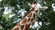 Stock Video Footage of Beautiful Giraffe Close-Up, Giraffa Camelopardalis, The Tallest Animal, African