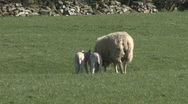 Stock Video Footage of Ewe and her two lambs. Sheep.