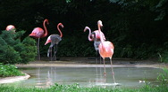 Stock Video Footage of Flamingo Spinning Backwards