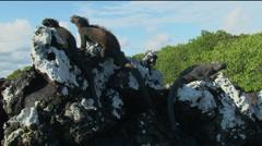 3 Iguanas on a rock, Galapagos  Stock Footage