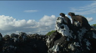 Stock Video Footage of 2 Iguanas on a rock, Galapagos
