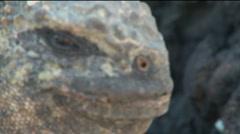 Iguana close-up out of focus to focus, Galapagos Stock Footage