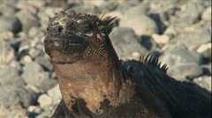 Iguana Buddies, Galapagos  - stock footage