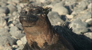 Stock Video Footage of Iguana Buddies, Galapagos