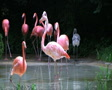 Flamingos Rushing Out of Water SD Footage