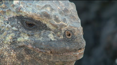 Iguana Close-up, Galapagos  Stock Footage