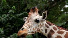 Stock Video Footage of Beautiful Giraffe Close-Up, Giraffa Camelopardalis, The Tallest Animal, African