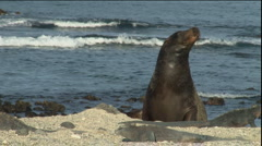 Sea Lion with Iguanas on beach, Galapagos - stock footage