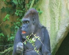 Gorilla Protects Food Stock Footage