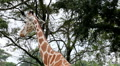 Beautiful Giraffe Close-Up, Giraffa Camelopardalis, The Tallest Animal, African Footage