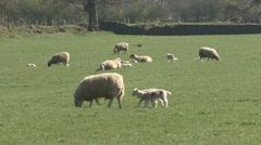 Ewe and lambs. Pheasant crosses field in background. Sheep. Stock Footage