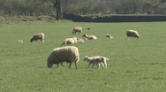 Stock Video Footage of Ewe and lambs. Pheasant crosses field in background. Sheep.