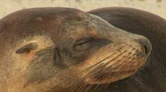 Sea Lions Close-up, Galapagos  Stock Footage