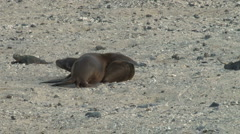 Sea Lion buddies, Galapagos Stock Footage