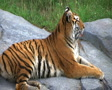 Siberian Tiger Alerted by Prey SD Footage