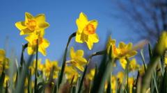 HD Yellow daffodils Stock Footage