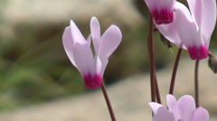 Blooming forest flowers. Slow motion. Cyclamen Persicum.  Stock Footage