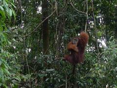 Orangutan in the wild - stock footage