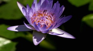 Stock Video Footage of Lotus, Water Lily, Close Up, Water Reflection, Bees, Fish in Pond, Nymphaeaceae