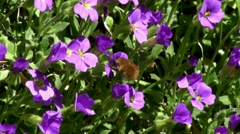 Bee Fly on Spring Flowers 130043 Stock Footage