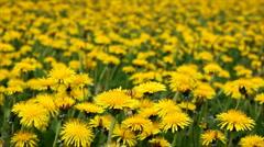 Dandelion field Stock Footage