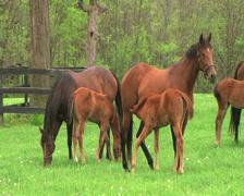 Foal Nursing Stock Footage