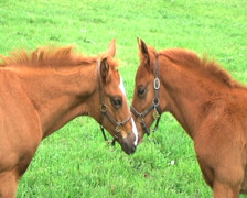 Foals Touching Noses Stock Footage