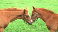 Stock Video Footage of Foals Touching Noses