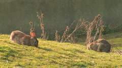 Pair wild grazing Rabbits - stock footage