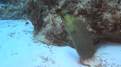 Green Moray Eel Stock Footage