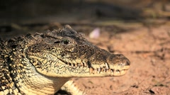Cuban Crocodile Stock Footage