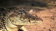 Cuban Crocodile Stock Footage