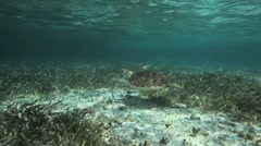Loggerhead Sea Turtle Breathing Stock Footage