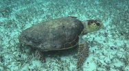 Loggerhead Sea Turtle Belize Stock Footage