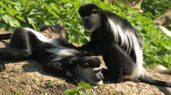 Colobus Monkey MASSAGE Grooming & Preening Stock Footage