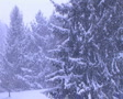 Pine Trees in Snowstorm Footage