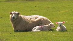 Romney Sheep Ewe and her Lambs on Marsh Stock Footage