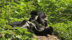 Playful Squabbling Colobus Monkeys - stock footage