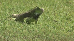 Lizard in the grass Aruba island in the caribbean Stock Footage