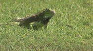 Stock Video Footage of Lizard in the grass Aruba island in the caribbean
