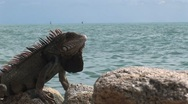 Stock Video Footage of Lizard in Aruba island in the caribbean